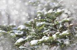 gałąź zakrywali jodła śnieg Fotografia Royalty Free