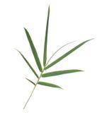 Gałąź zieleni bambusów liście odizolowywający na bielu Zdjęcia Stock