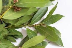 Gałąź zieleni laurowi liście Gałąź bobek Fotografia Stock