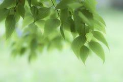 Gałąź zieleni liście Zdjęcia Stock