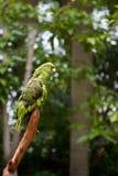 gałąź zieleni papugi pozycja Zdjęcie Royalty Free