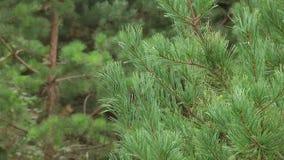 gałąź zielenieją sosny Zielone jedlinowego drzewa lub sosny gałąź zdjęcie wideo