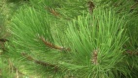 gałąź zielenieją sosny Zielone jedlinowego drzewa lub sosny gałąź zbiory wideo