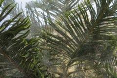 Gałąź zielony iglasty drzewo w jedwabnik pajęczynie w górę obraz stock