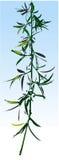 gałązka ilustracyjna willow wektora Royalty Ilustracja