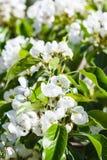 Gałązka kwiatonośna jabłoń w wiośnie Obrazy Royalty Free