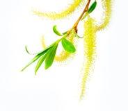 Gałązka kwitnie wierzby Obrazy Stock