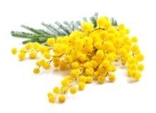 Gałązka mimoza kwiaty obrazy royalty free