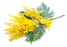 Gałązka mimoza kwiaty zdjęcia stock