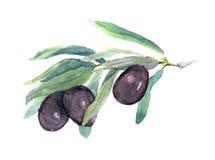 Gałązka oliwna - czarnych oliwek liście i warzywa akwarela royalty ilustracja