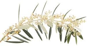 Gałązka oliwna w kwiacie obrazy stock