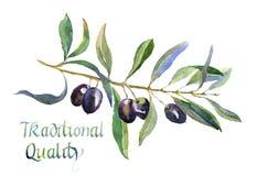 Gałązka oliwna z liśćmi i wpisowymi Czarnymi oliwkami odizolowywającymi na białym tle ilustracja wektor