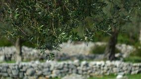 Gałązka oliwna z liścia zakończeniem Oliwni gaje i ogródy w M zbiory