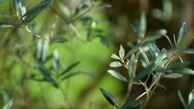 Gałązka oliwna z liścia zakończeniem Oliwni gaje i ogródy w M zdjęcie wideo