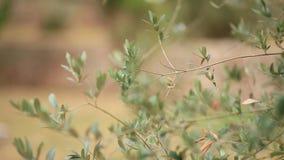 Gałązka oliwna z liścia zakończeniem Oliwni gaje i ogródy w M zbiory wideo