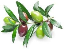 Gałązka oliwna z oliwnymi jagodami odizolowywać na białym tle obrazy stock