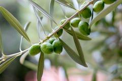 Gałązka oliwna z zielonymi oliwkami fotografia royalty free