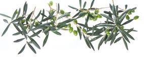 Gałązka oliwna z zielonymi oliwkami odizolowywać na białym tle fotografia royalty free