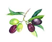 Gałązka oliwna - zieleń, czarne oliwki akwarela ilustracji