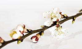 Gałązka owocowy drzewo z okwitnięciami i pączkami Obrazy Stock