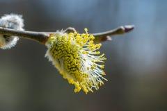 Gałązka z żółtym kwiatem znać jako Koźliej wierzby Salix caprea bl Obraz Royalty Free