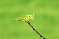 Gałązka z figa liśćmi Obrazy Royalty Free