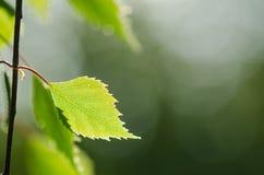 Gałązka z pojedynczym backlit zbudowanym liściem Zdjęcie Royalty Free