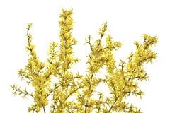 Gałązki forsycje z żółtymi kwiatami na białym tle Zdjęcie Stock