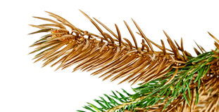 Gałązki jedlinowy drzewo. Fotografia Stock