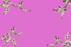 Gałązki odizolowywać na różowym tle kwitnąć wiśni zdjęcia royalty free