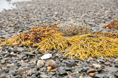 Gałęzatka i otoczaki na Maine plaży Zdjęcie Stock