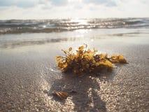 Gałęzatka na piasek plaży z zmierzchu światłem zdjęcie stock