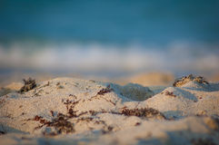Gałęzatka na piaskowatej plaży Zdjęcie Stock