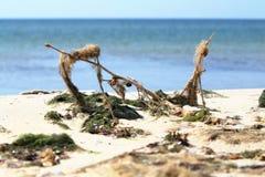 Gałęzatka na plaży Zdjęcie Stock