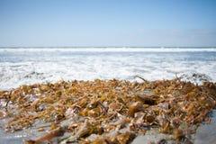 Gałęzatka przy plażą Obrazy Royalty Free