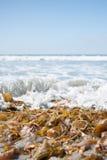 Gałęzatka przy plażą Obrazy Stock