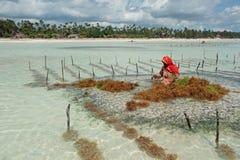 Gałęzatka uprawia ziemię - Zanzibar Zdjęcie Royalty Free