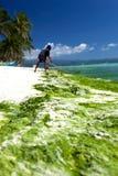 Gałęzatka w turkusowym morzu, roślina wodna na Boracay wyspie Zdjęcie Royalty Free
