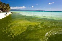Gałęzatka w turkusowym morzu, roślina wodna na Boracay wyspie Obrazy Royalty Free