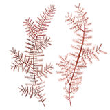 Gałęzatki dennego życia przedmiot odizolowywający na białym tle Akwareli ręka rysująca malująca ilustracja Podwodna akwarela Obrazy Royalty Free