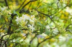 Gałęziaści żółci kwiatonośni różaneczniki fotografia royalty free