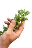 gałęziaści agrestów ręki chwyty Fotografia Royalty Free