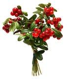 Gałęziaści Cranberries Na Białym tle Zdjęcia Royalty Free