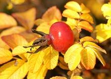 gałęziaści jesień biodra Zdjęcie Stock