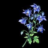 Gałęziaści kwiatonośni błękitni Aquilegia błonia imiona: babci ` s kolombina lub czapeczka zdjęcia royalty free