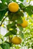 Gałęziaści pomarańczowi drzewnych owoc zieleni liście zdjęcia stock
