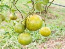 Gałęziaści pomarańczowi drzewnych owoc zieleni liście Obrazy Stock