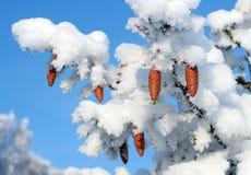 gałęziaści rożki jedlinowi świąteczne zdjęcie stock