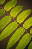 gałęziaści zieleni liść Fotografia Royalty Free