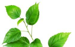 gałęziasta świeża zieleń Obrazy Stock
